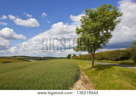 a young ash tree in scenic agricultural landscape under a blue sky with white clouds in summer