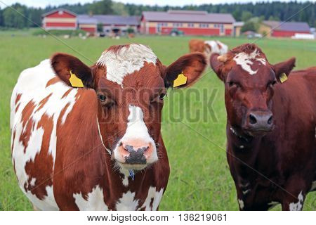 Close up of two cool looking cows on green field with farmstead background shallow dof with focus on the cow on the left with cool expression.