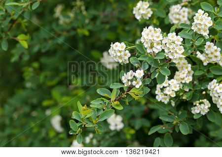 Soft focus of white Spiraea flowers, known as Bridal-wreaths blossoming during summer in Austria, Europe