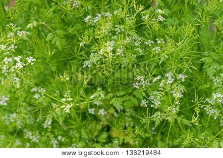 Selective focus of Garden Chervil blossoming white flowers during summer in Austria, Europe