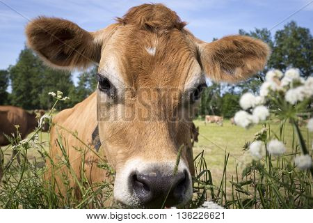 Typical Jersey Cows on Jersey island, UK