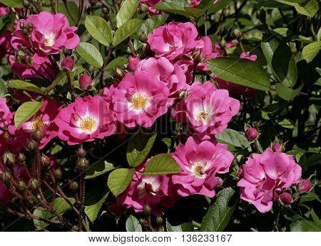 flowering wild red rose in the garden