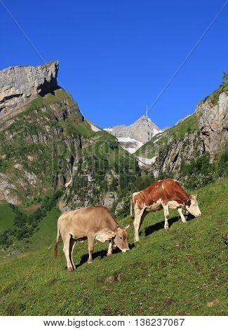 Summer scene in Appenzell Canton Switzerland Cows grazing on a mountain meadow below Mt Santis.
