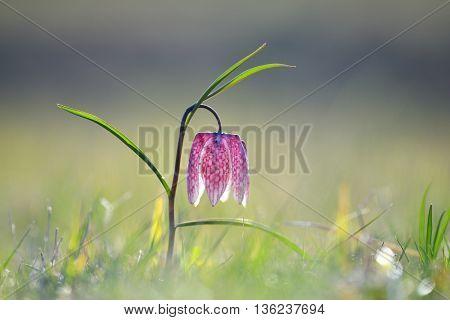 Endangered wild Chess Flower (Fritillaria meleagris) on spring meadow