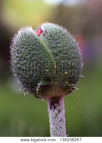 Detail of bud of sown garden decoratice poppy