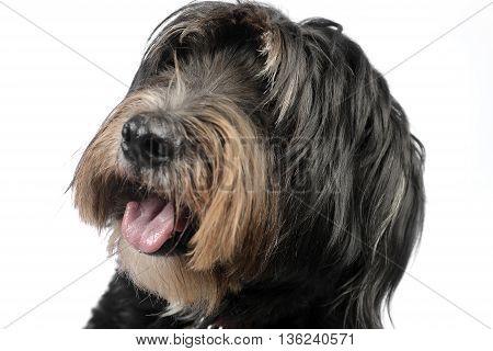 mutt dog studio portrait with white background