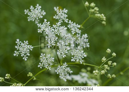blooming white flowers in the meadow. Blurred background.