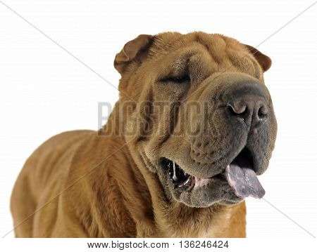 Shar Pei Portrait  In The White Studio Looking Right