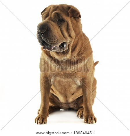 Shar Pei Sitting In The White Studio And Looking Right