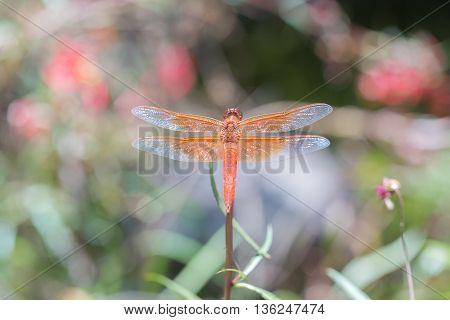 Flame (firecracker) Skimmer - Libellula saturata dragonfly