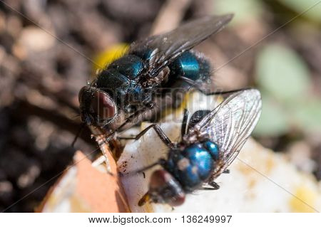 two Calliphoridae to eat on the ground