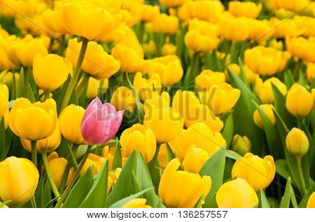 One Pink Tulip Standing Out From Many Yellow Ones. Individuality Concept