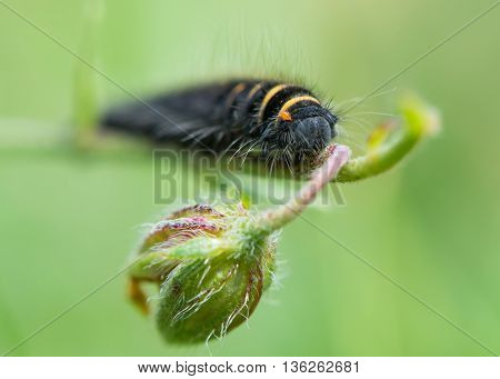 Fox moth (Macrothylacia rubi) early instar caterpillar, Young larva of moth in family Lasiocampidae with black and yellow stripes and orange mites