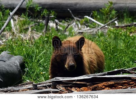 a cinnamon colored black bear stares into the camera