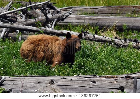 a black bear stands attentive in a small meadow