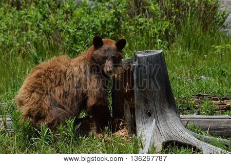 a black bear stands by stump it is tearing up