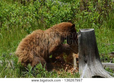 a cinnamon black bear clears out a stump