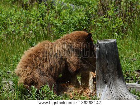 a cinnamon black bear tears apart an old stump