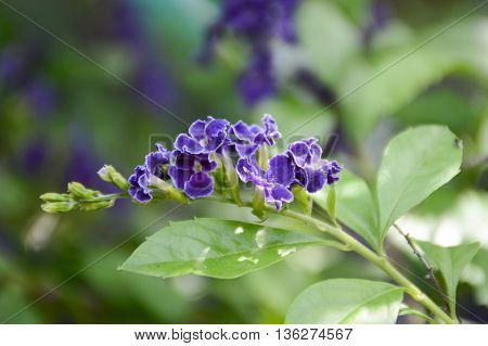 purple Pigeon berry flower in garden , Duranta repens L.