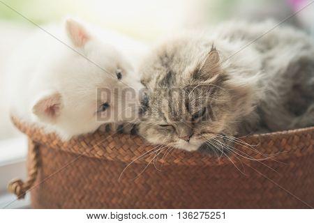 Cute siberian husky and persian cat lying in basket bed