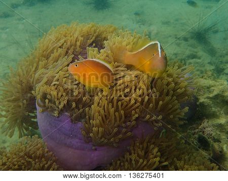 Group of sea anemone fishes in the sea anemone