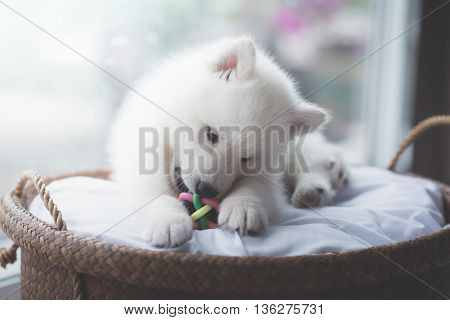 White siberian husky puppy lying in a basket vintage filter