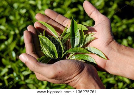 Man Hand Pick Tea Leaf