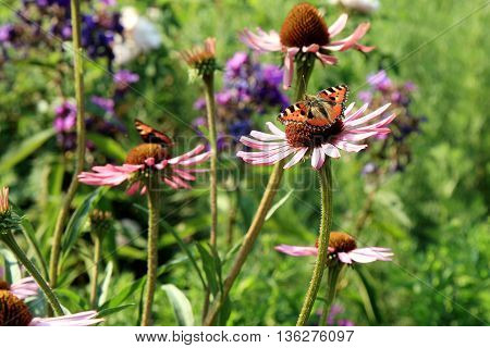 Echinacea with butterflies in country home rustic ecological garden by very sunny day