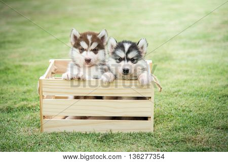 Cute siberian husky puppies paying in wooden crate on green grass
