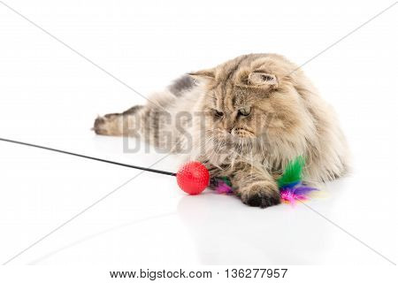 Cute persian cat playing toy on white background isolate