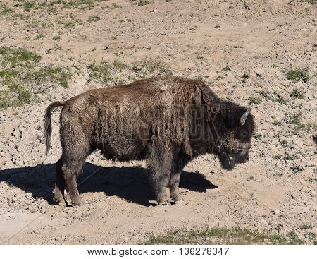 a dirty buffalo stands in it's old muddy wallow