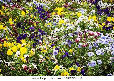 Mixed pansies flowers in the garden. Beauty in nature. Seasonal natural scene. Flower bed. Gardening theme.
