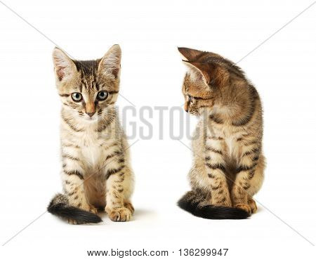Two Little cute purebred striped kittens isolated on white background. Domestic pet close-up.