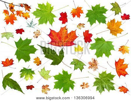 Set Of Summer Green And Autumn Pied Maple Leaves