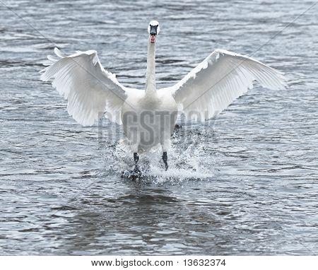 Trumpeter Swan (Cygnus buccinator) Touchdown