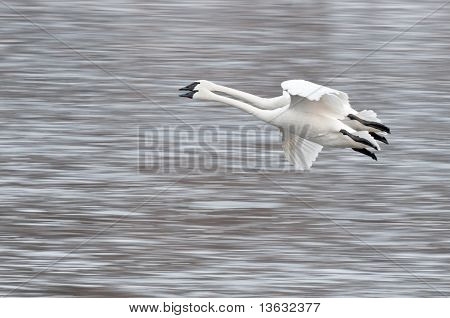 Two Trumpeter Swans (Cygnus buccinator) Fly By