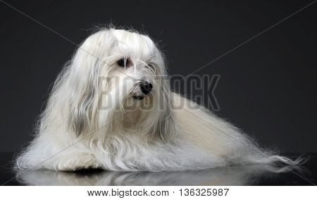 Lovely Shi-tzu Relaxing  In A Gray Photo Studio