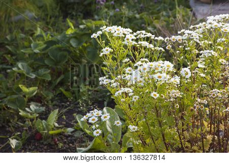 Feverfew herb in white flower brightens up strawberry patch / garden.