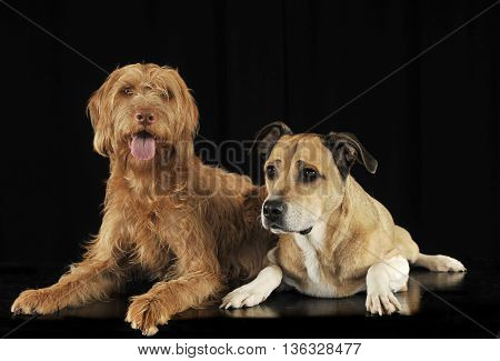 Staffordshire Terrier And A Hungarian Vizsla Lying In Black Studio