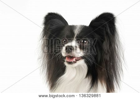 Sweet Papillon In The White Photo Studio