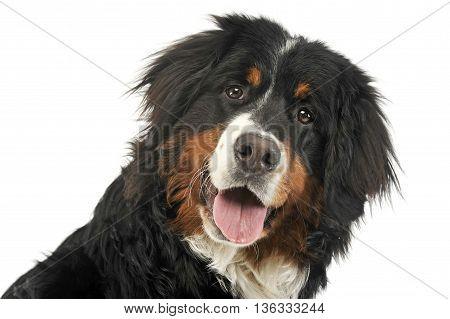 Bernese Mountain Dog Portrait In The White Photo Studio
