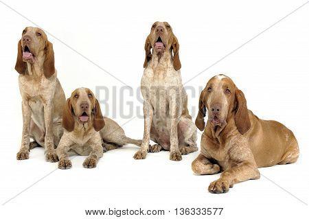 Group Of Bracco Italiano Feeling Good In A White Photo Studio