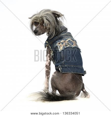 Chinese Crested Dog In A White Background Photo Studio