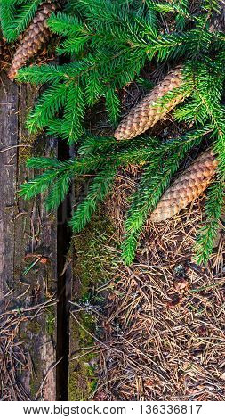 old table in the wood, on a table coniferous branches and three big cone-shaped fir cones lie near green coniferous branches