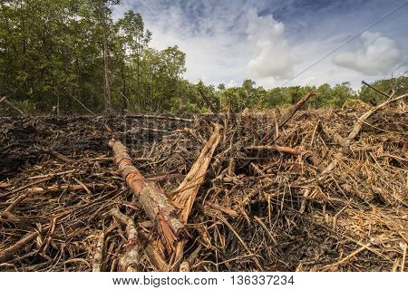 Deforestation environmental damage - tropical rain forest destroyed to make way for palm oil plantations.