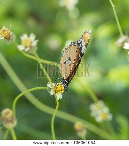 Plain Tiger Butterfly (danaus Chrysippus Butterfly) On A Flower