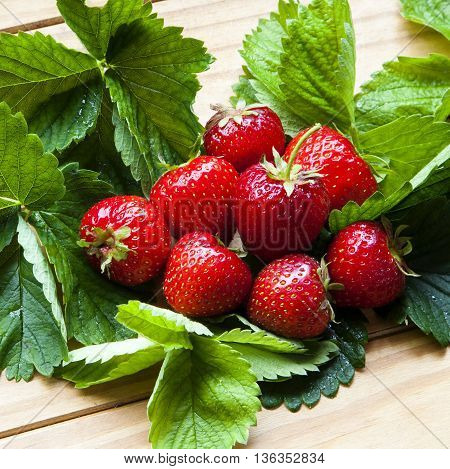 Strawberries bursting with healthy delicious fruit - red, ripe, tasty and succulent - on strawberry leaves.