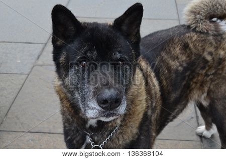 Akita dog with a thick brindle fur coat.