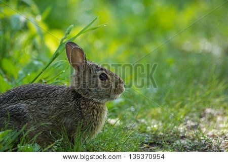 Eastern Cottontail rabbit on a trail in Wisconsin.