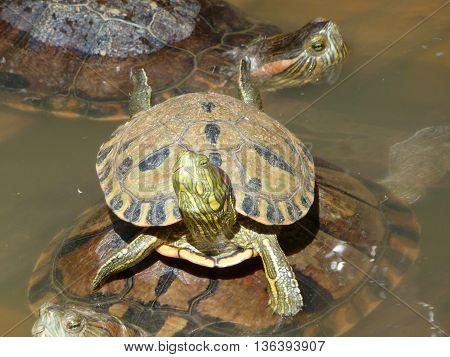 tartaruga filhote encima do casco da mãe
